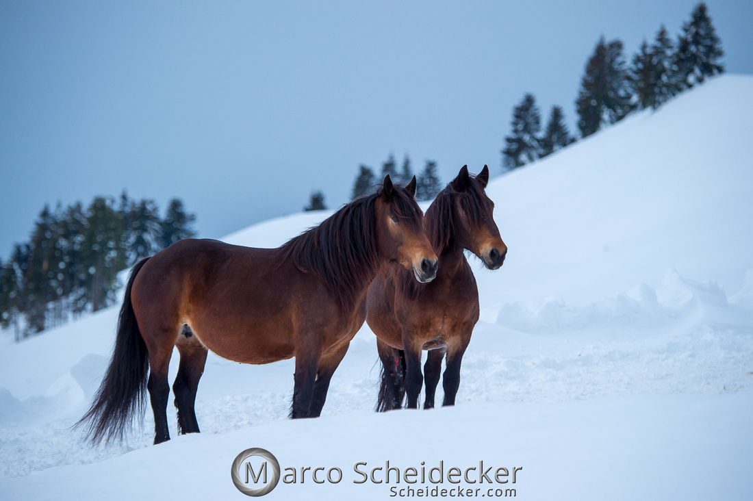 C2019-01-27-0294  -  Noriker im Schnee